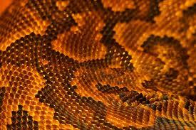 snakeskin 5