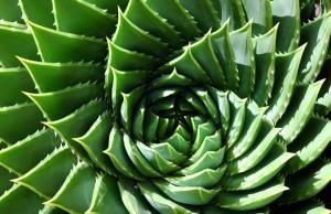 spiral%20aloe