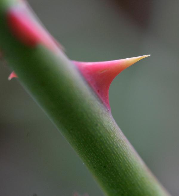 thorn 23