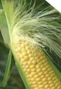 635733750445950668-378414727_corn