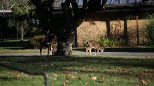 Tame Deer on grounds